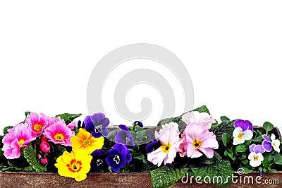 Planter Primrose spring
