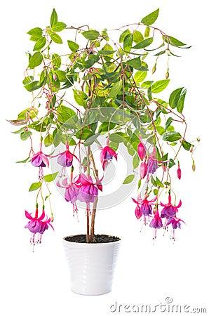 Plantes d 39 int rieur fuchsia de fleur dans le pot de fleur tennessee walts photos stock image - Steun de plantes d interieur ...