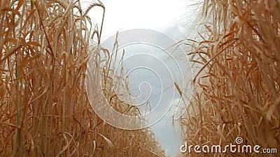 Plantes d'orge jaunes dans un domaine de blé contre le ciel et les nuages Vue inf?rieure 4K vid?o 4K clips vidéos
