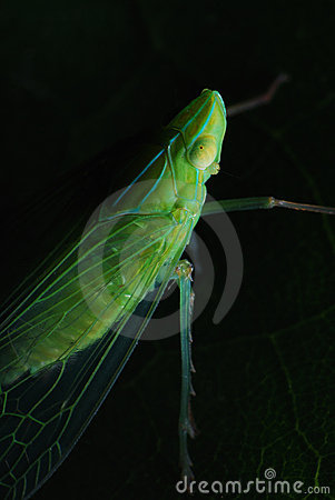 Planthopper In The Dark