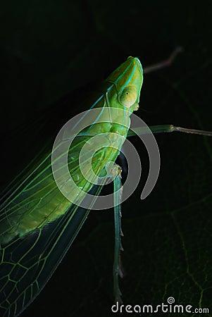 Planthopper In The Dark
