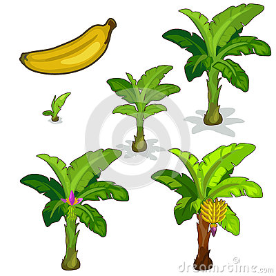 Free Planting And Cultivation Of Banana Palm. Vector Stock Photo - 80938830