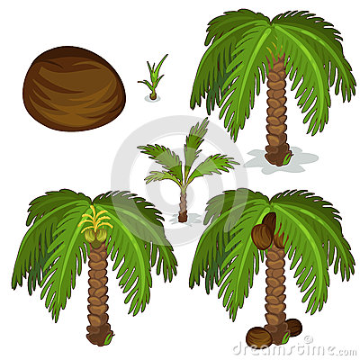 Free Planting And Cultivation Of Coconut Palm. Vector Royalty Free Stock Photography - 80976257