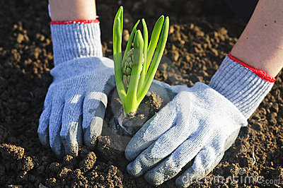 Planting a hyacinthus