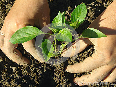Planting pepper seedlings