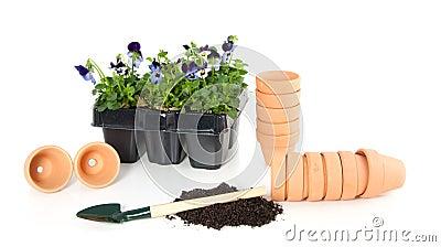 Planting violet blue pansy