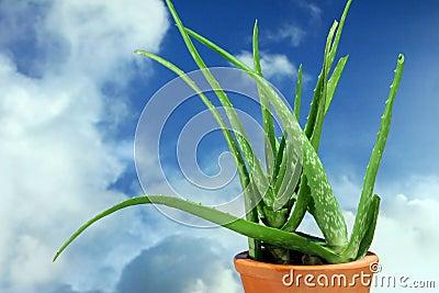 Plants - Aloe Vera - Stem