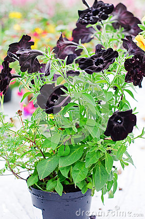 Plastic pot with Black Velvet Petunia