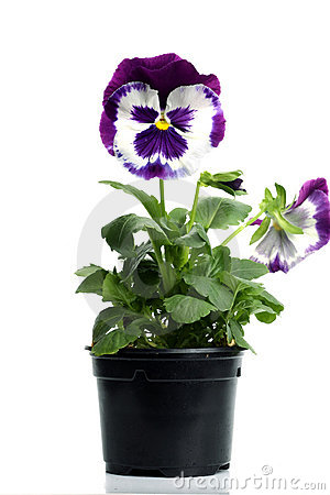 Plastic pots with blue purple pansy