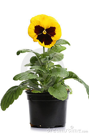 Plastic pots with yellow pansy