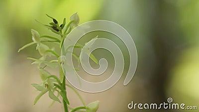 Platanthera орхидеи акции видеоматериалы