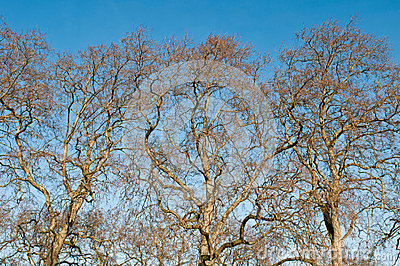 Platanus trees