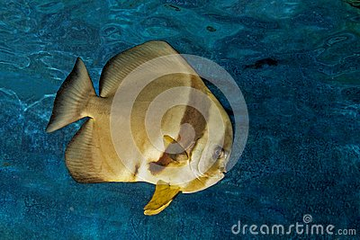 Platax or batfish