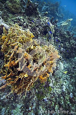 Plate Fire Coral - Roatan