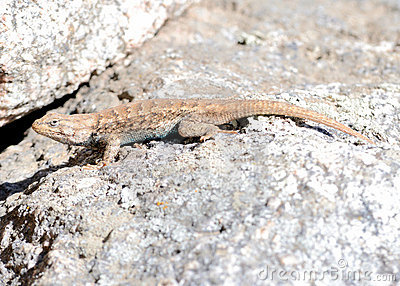 Plateau side-blotched lizard