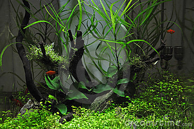 Platies in Aquascaping