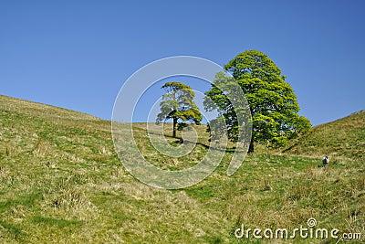 Platteland: twee bomen en schapen tussen heuvels