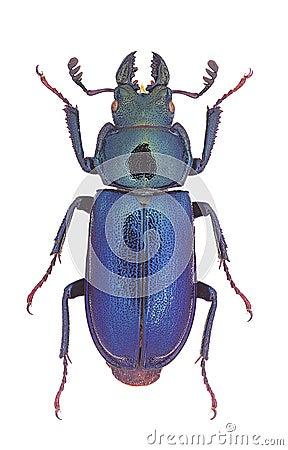 Platycerus capraea stag beetle