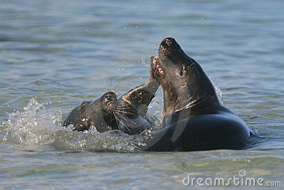 Play-fighting seals