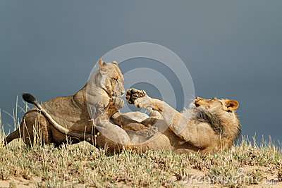 Playful African lions
