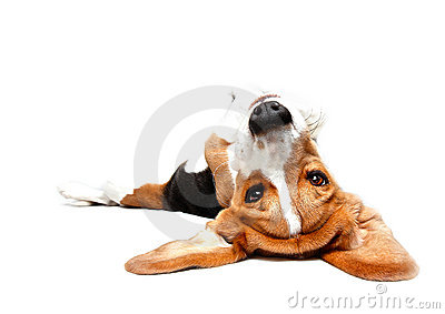 Playful Beagle
