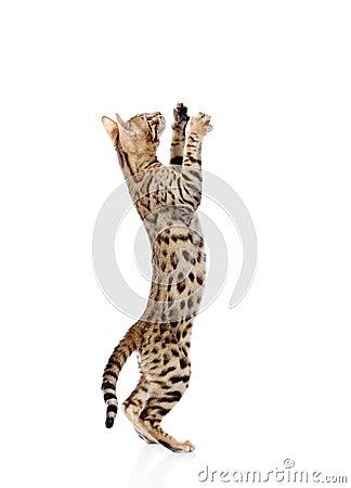 Playful Bebgal cat.