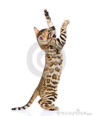 Free Playful Bengal Cat. Isolated On White Background Royalty Free Stock Image - 52260626