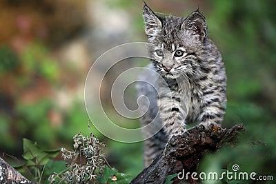 Playful Bobcat Kitten