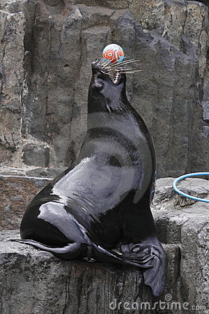Playful brown fur seal