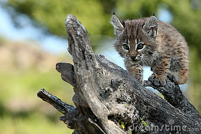 Playful Canadian Lynx Kitten