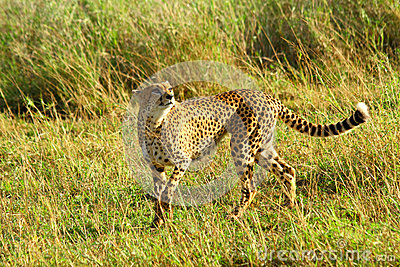 Playful Cheetah