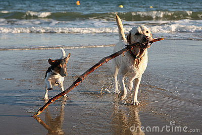 Dogs Playing on Beach with Stick