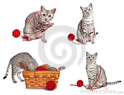 Playful Egyptian Mau Cats