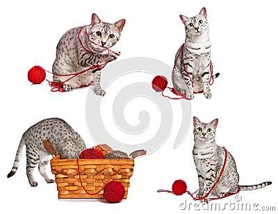Playful Egyptian Mau Cats