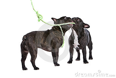 Playful French Bulldogs