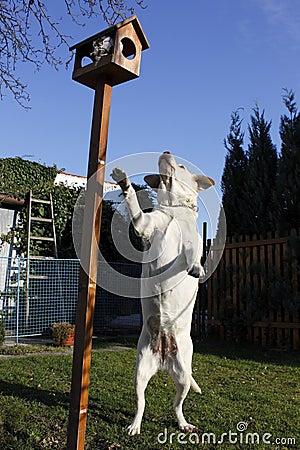 Playful golden labrador