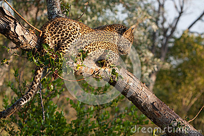 Playful leopard cub in a tree