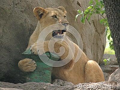 Playful lioness