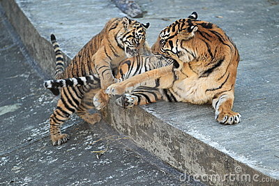 Playful malayan tiger
