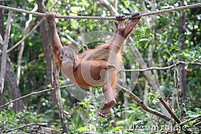 Playful Orangutan
