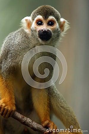 Playful Primate