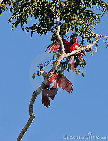 Playful Red-and-green Macaws