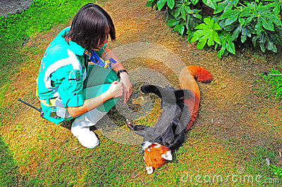 playful red panda and trainer Editorial Image