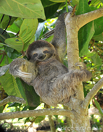 Free Playful Three Toe Sloth Sitting In Tree,costa Rica Stock Photos - 12197743