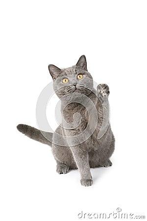 Playfull british cat