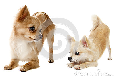 Playing chihuahuas