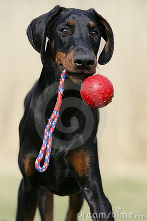 Free Playing Doberman Puppy Royalty Free Stock Photography - 19599817