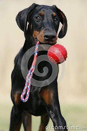 Playing Doberman puppy