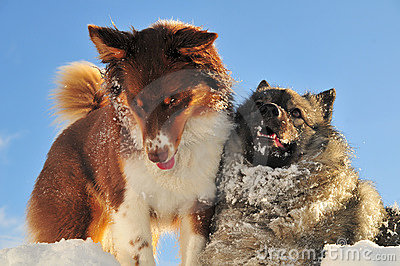Playing dogs romp in the snow