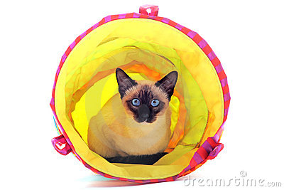 Playing Siamese Cat